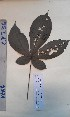 (Vitex phaeotricha - FHO-CY236)  @11 [ ] Copyright (2013) Unspecified University of Oxford, Department of Plant Sciences