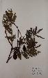 (Parkia - BRLU-TS4682)  @11 [ ] CreativeCommons - Attribution Non-Commercial Share-Alike (2013) Unspecified Herbarium de l'Université Libre de Bruxelles