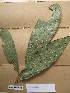 (Scaphopetalum - WH213a_074)  @11 [ ] CreativeCommons - Attribution Non-Commercial Share-Alike (2013) Unspecified Herbarium de l'Université Libre de Bruxelles