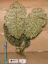 (Spondianthus - WH213a_217)  @11 [ ] CreativeCommons - Attribution Non-Commercial Share-Alike (2013) Unspecified Herbarium de l'Université Libre de Bruxelles