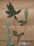 ( - WH213a_245)  @11 [ ] CreativeCommons - Attribution Non-Commercial Share-Alike (2013) Unspecified Herbarium de l'Université Libre de Bruxelles