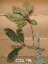 (Chrysophyllum azaguieanum - WH213a_284)  @11 [ ] CreativeCommons - Attribution Non-Commercial Share-Alike (2013) Unspecified Herbarium de l'Université Libre de Bruxelles