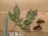(Schefflerodendron - WH213a_302)  @11 [ ] CreativeCommons - Attribution Non-Commercial Share-Alike (2013) Unspecified Herbarium de l'Université Libre de Bruxelles