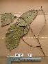(Haplormosia - WH213a_329)  @11 [ ] CreativeCommons - Attribution Non-Commercial Share-Alike (2013) Unspecified Herbarium de l'Université Libre de Bruxelles
