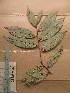 (Diospyros sp - WH213a_369)  @11 [ ] CreativeCommons - Attribution Non-Commercial Share-Alike (2013) Unspecified Herbarium de l'Université Libre de Bruxelles