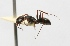 (Camponotus morosus - MACN-Bar-Ins-ct 00391)  @13 [ ] Copyright (2011) MACN Museo Argentino de Ciencias Naturales