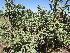 (Opuntia imbricata - PPRI-0183)  @11 [ ] CreativeCommons - Attribution Non-Commercial Share-Alike (2012) Mamadi Theresa Sethusa University of Johannesburg