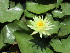 (Nymphaea mexicana - PPRI-0194)  @11 [ ] CreativeCommons - Attribution Non-Commercial Share-Alike (2012) Mamadi Theresa Sethusa University of Johannesburg