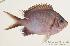 (Chromis alpha - MBIO0947)  @11 [ ] No Rights Reserved  Unspecified Unspecified