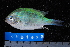 (Chromis viridis - NBE1073)  @13 [ ] No Rights Reserved  Unspecified Unspecified