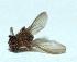 (Drosophila repleta - W5BH7)  @15 [ ] Copyright (2013) Dr.G.D. Khedkar Paul Hebert Center for DNA Barcoding & Biodiversity Studies