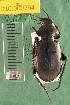 (Carabidae D10morph_V - D10.000794)  @11 [ ] Copyright (2010) National Ecological Observatory Network, Inc. National Ecological Observatory Network (NEON) http://www.neoninc.org/content/copyright