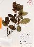(Ficus aurea - Gomez977)  @11 [ ] Copyright (2012) Martin Ricker Universidad Nacional Autonoma de Mexico, Instituto de Biologia