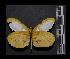(Enantia ssp2MEX - MAL-05562)  @14 [ ] Copyright (2012) Unspecified Museo de Zoologia, Facultad de Ciencias, UNAM