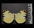 (Enantia ssp2MEX - MAL-05547)  @14 [ ] Copyright (2012) Unspecified Museo de Zoologia, Facultad de Ciencias, UNAM