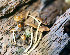  (Conocybe filaris - TRTC52166)  @11 [ ] CreativeCommons - Attribution Non-Commercial Share-Alike (2010) Unspecified Royal Ontario Museum