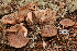  (Tricholoma albobrunneum cf - TRTC156471)  @11 [ ] CreativeCommons - Attribution Non-Commercial Share-Alike (2010) Unspecified Royal Ontario Museum