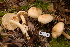 (Tricholoma sulphureum - TRTC156485)  @11 [ ] CreativeCommons - Attribution Non-Commercial Share-Alike (2010) Unspecified Royal Ontario Museum