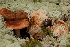  (Tricholoma pessundatum - TRTC156501)  @11 [ ] CreativeCommons - Attribution Non-Commercial Share-Alike (2010) Unspecified Royal Ontario Museum