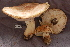  (Tricholoma cf. japonicum - TRTC156504)  @11 [ ] CreativeCommons - Attribution Non-Commercial Share-Alike (2010) Unspecified Royal Ontario Museum