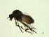 (Simulium exulatum - 07PROBE-JW0138)  @14 [ ] CreativeCommons - Attribution Non-Commercial Share-Alike (2010) Unspecified Biodiversity Institute of Ontario