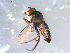  (Diaphorinae - 10PROBE-10756)  @12 [ ] CreativeCommons - Attribution Non-Commercial Share-Alike (2011) BIO Photography Group Biodiversity Institute of Ontario