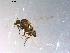 (Simulium vittatum complex - 10PROBE-11527)  @13 [ ] CreativeCommons - Attribution Non-Commercial Share-Alike (2011) BIO Photography Group Biodiversity Institute of Ontario