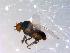 (Simulium furculatum - 10PROBE-11541)  @14 [ ] CreativeCommons - Attribution Non-Commercial Share-Alike (2011) BIO Photography Group Biodiversity Institute of Ontario