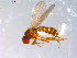 (Drosophila sp. TAW3 - 10PROBE-11552)  @11 [ ] CreativeCommons - Attribution Non-Commercial Share-Alike (2011) BIO Photography Group Biodiversity Institute of Ontario