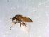 (Simulium decimatum - 10PROBE-13101)  @14 [ ] CreativeCommons - Attribution Non-Commercial Share-Alike (2011) BIO Photography Group Biodiversity Institute of Ontario