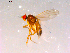 (Drosophila sp. TAW3 - 10PROBE-16041)  @14 [ ] CreativeCommons - Attribution Non-Commercial Share-Alike (2011) BIO Photography Group Biodiversity Institute of Ontario
