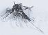 (Aedes keniensis - 14702-AedkeA06)  @11 [ ] Copyright (2012) Yvonne U Ajamma icipe