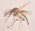 (Aedeomyia - 20974_AdafrA12)  @14 [ ] Copyright (2013) Yvonne U Ajamma icipe