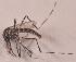 (Aedes vittatus - 20974_AevitE04)  @13 [ ] Copyright (2013) Yvonne U Ajamma icipe