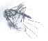 (Aedes metallicus - 14702-AemetF06)  @13 [ ] Copyright (2012) Yvonne U Ajamma icipe