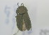 (Gonocephalum sp - NMK-ENTO 2295)  @11 [ ] Unspecified (default): All Rights Reserved  Unspecified Unspecified