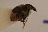 (Bruchidius atrolineatus - TT 122)  @12 [ ] Copyright (2011) NMK National Museums of Kenya
