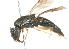 (Steleoceromys - 14478-StratiomyiidB9)  @14 [ ] Copyright (2011) RS Copeland Unspecified
