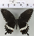 (Papilio polytes - YB-KHC6614)  @14 [ ] No Rights Reserved  Unspecified Unspecified