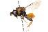 (Perilampidae - 19698AperA12)  @14 [ ] Copyright (2013) RS Copeland Unspecified