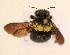 (Xylocopa flavicollis - TT 399)  @13 [ ] Copyright (2011) NMK National Museums of Kenya