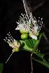 (Capparis sepiaria glabrata - OM1604)  @11 [ ] Unspecified (default): All Rights Reserved  Unspecified Unspecified