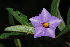 (Solanum panduriforme - OM0326)  @11 [ ] Unspecified (default): All Rights Reserved  Unspecified Unspecified
