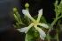 (Tabernaemontana elegans - OM0925)  @11 [ ] Unspecified (default): All Rights Reserved  Unspecified Unspecified