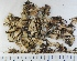 (Peltigera ponojensis - KNWR Herb 9058)  @11 [ ] by-nc-sa (2013) Unspecified U.S. Fish & Wildlife Service