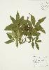 (Juglandaceae - AP275)  @11 [ ] Unspecified (default): All Rights Reserved  Unspecified Unspecified