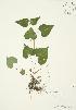 (Viola canadensis - AP190)  @11 [ ] Copyright (2009) Unspecified University of Guelph BIO Herbarium