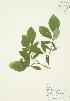 (Dirca - AP002b)  @11 [ ] Copyright (2009) Unspecified University of Guelph BIO Herbarium