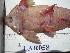 (Pseudohemiodon - LAR058)  @11 [ ] Copyright  LAR-IBR Unspecified