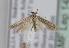 (Coleophora obtectella - TLMF Lep 14947)  @14 [ ] CreativeCommons - Attribution Non-Commercial Share-Alike (2014) Peter Huemer Tiroler Landesmuseum Ferdinandeum